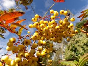Yellow Sorbus berry